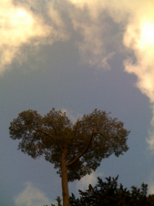 heart-shaped tree